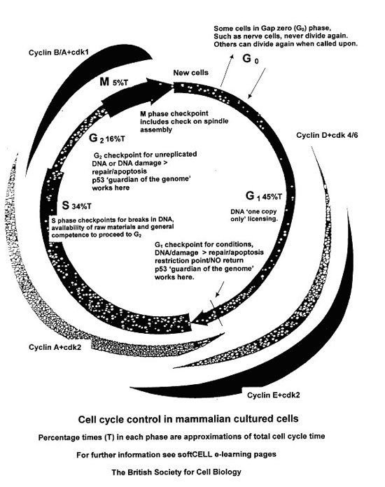 Cell cycle control british society for cell biology a summary of cell cycle control ccuart Image collections