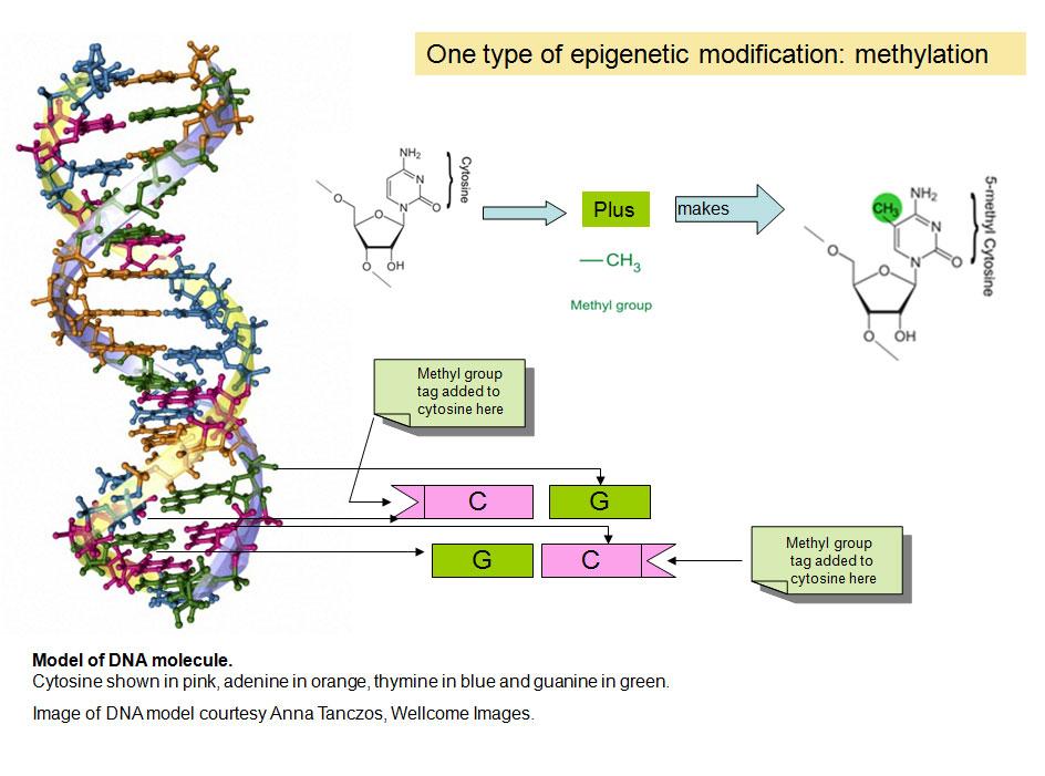 epigenetics � it�s not just genes that make us british