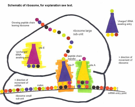 schematic ribosome british society for cell biology